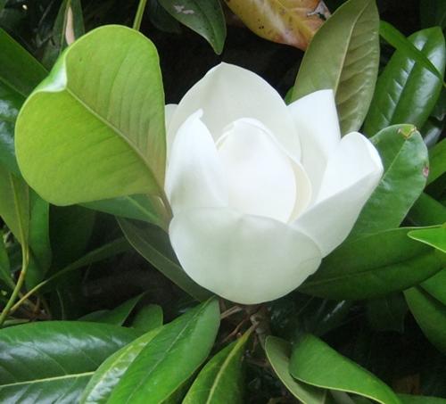 Knightshayes Magnolia maybe...