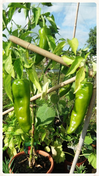 August 14 23 peppers