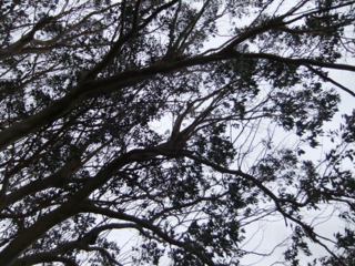 The Tamar Valley Gum Tree