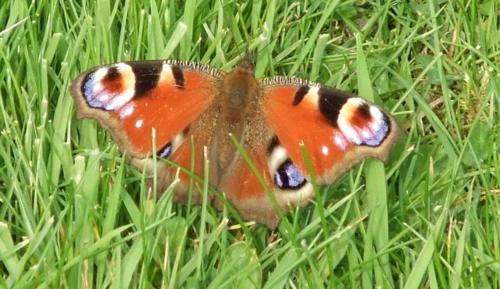 a Green Knowe butterfly