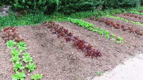 Knightshayes lettuce-envy