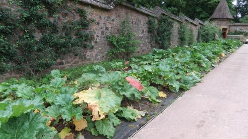 Rhubarbery