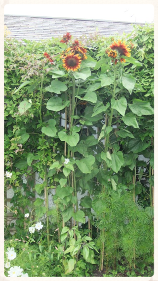 Higgledy Sunflowers 'Earthwalker'