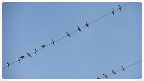 Swallows gathering...