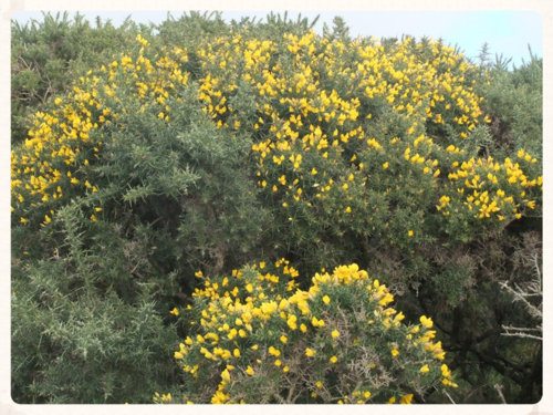 The Gorse
