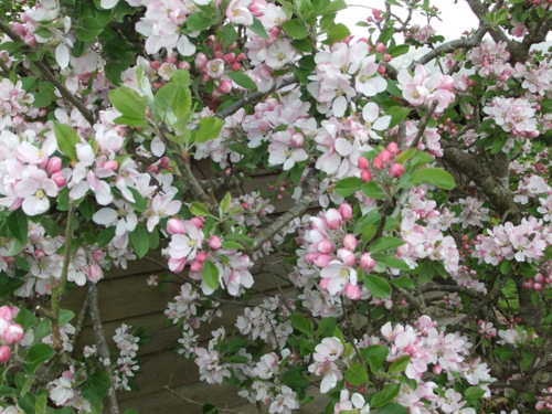 Pleasing apple blossom