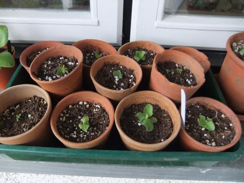 Pleasing auricula seedlings..