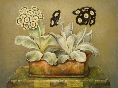 SHOW AURICULA COLBURY AND SELF AURICULA NEAT AND TIDY- Jose Escofet