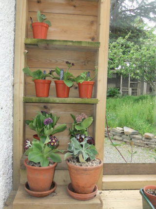 My Auricula Theatre