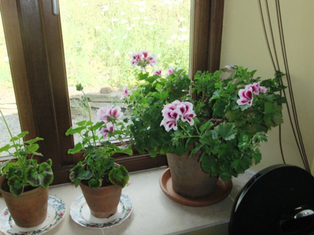 On Geraniums And Other Flowers