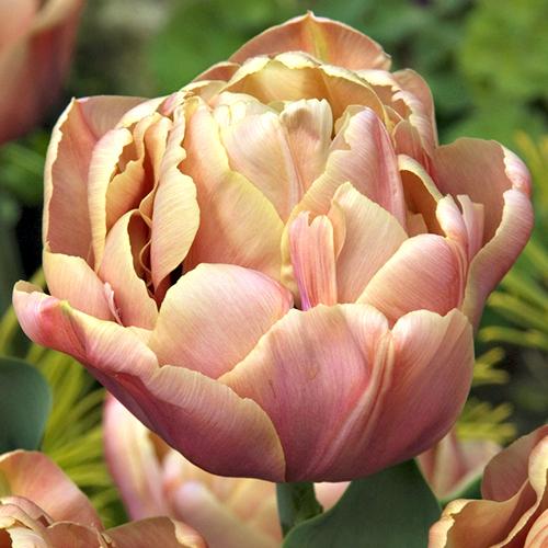 Tulip-la-belle-epoque