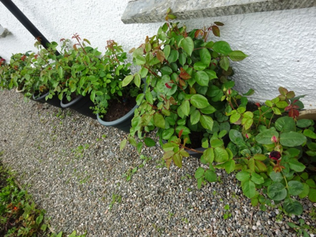May 16 roses