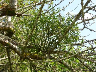 May 16 Mistletoe at Cotehele