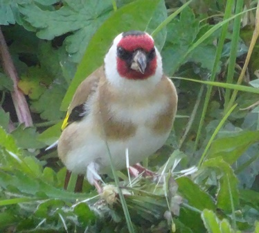 May 17 Goldfinch