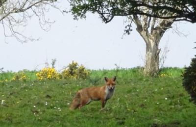 May 17 fox