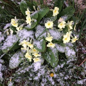 March 18 primroses