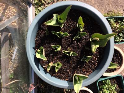 Mar 18 Tulips