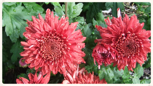 August 2014 ~ Chrysanthemums