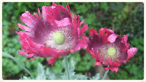 August 2014 Sabina's poppy