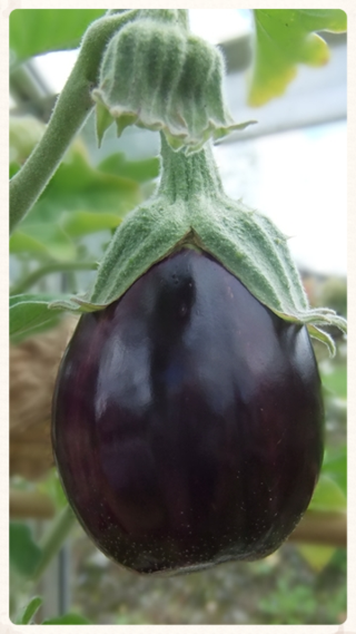 Another aubergine...