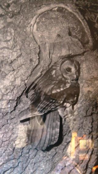 Tawny Owl ~ G.K Yeates