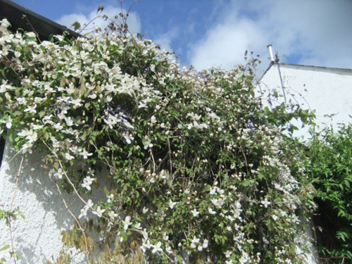 Pleasing clematis..