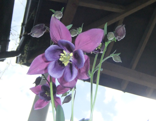 Another pleasing aquilegia...