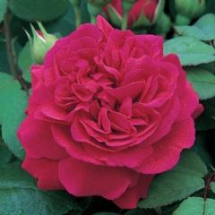 Tess's rose