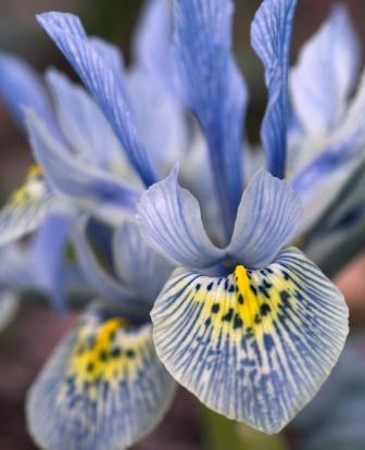 Iris kh ed