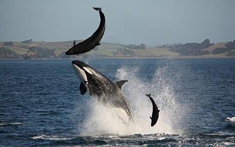 Orca_attack