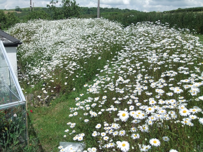 dovegrey daisies
