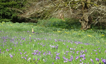 Mar 17 cotehele crocuses