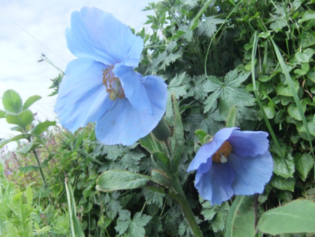 Meconopsis Lingholm SUCCESS!!!