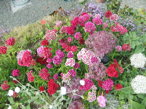 Sweet William and allium