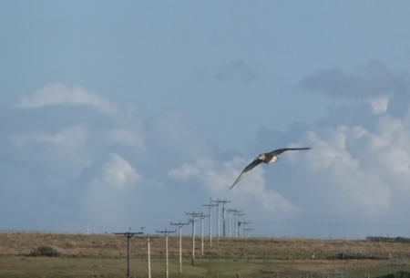 Orkney 2012 curlew + flying