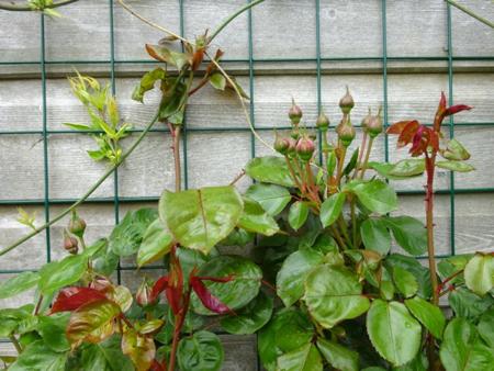 May 16 rose highgrove