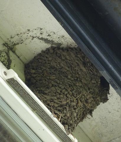 House Martin's nest