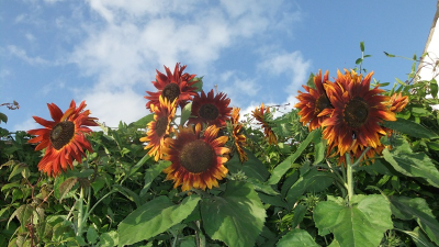 August 14 sunflowers