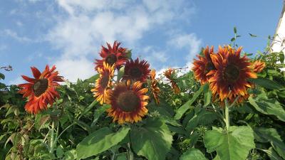 August 14 sunflowers