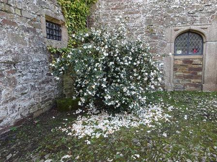 Mar 17 camellias