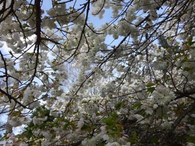 Hanmer blossom