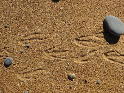 Bushey Beach, Oamaru - Yellow Eyed Penguin footprints