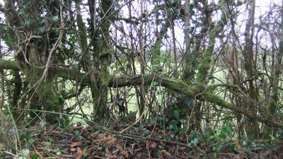 Hedge layer 1