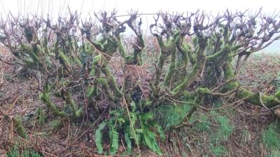 Hedge laying 3