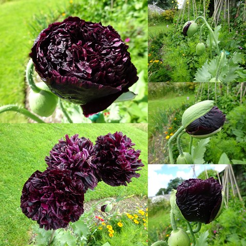 July 16 black poppy coll