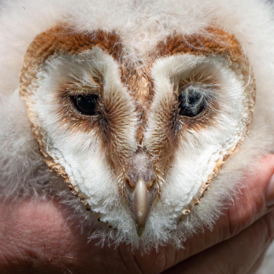 Large Owlet - the biggest & oldest of the three