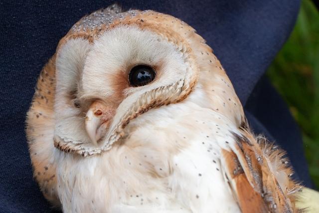 HATWELL_BARN_OWL_TRUST-24