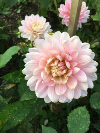 Dahlia - Pink Magic