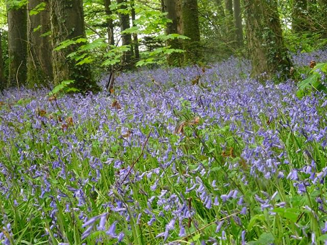 May 16 bluebells 1