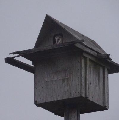 Owlet in box 3